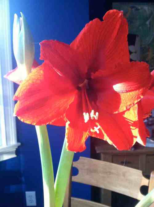 My holiday amaryllis finally bloomed!